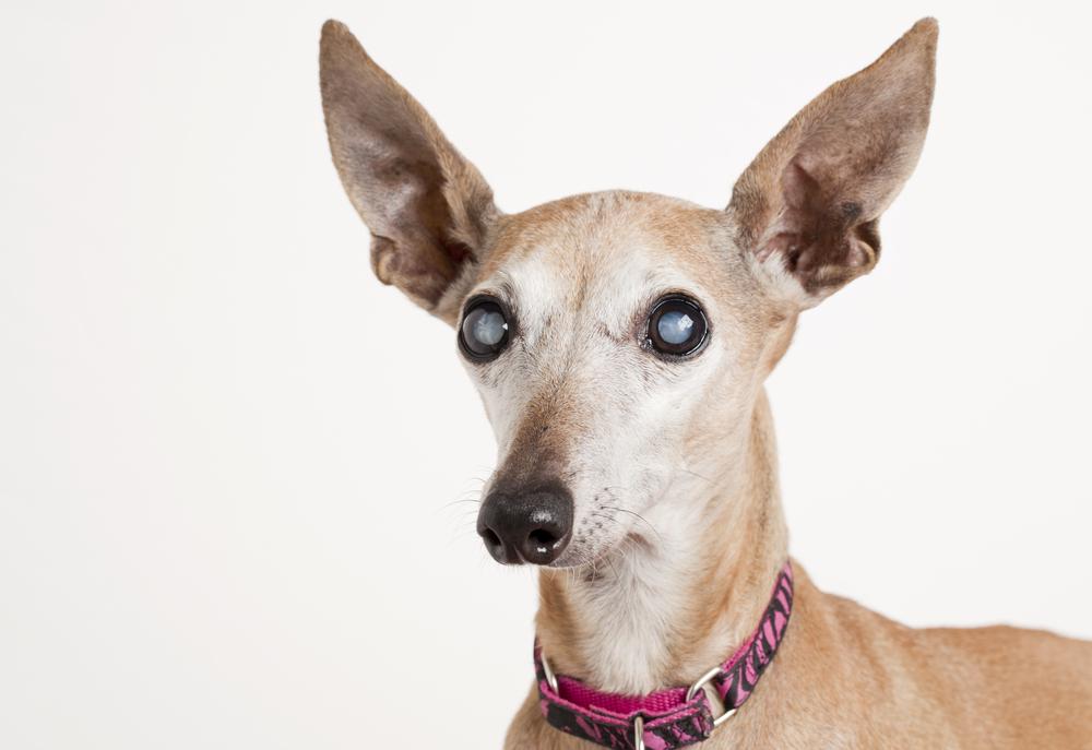 cataract dog