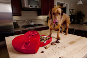 AERA-dog-eating-chocolate-300x200 Pets and Human Food: A Potentially Dangerous Combination